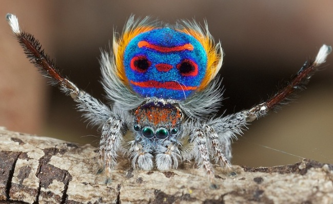 peacock_spider